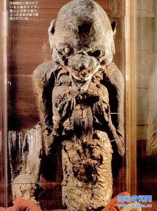 日本博物馆中的美人鱼木乃伊身长17米人身鱼尾被供奉