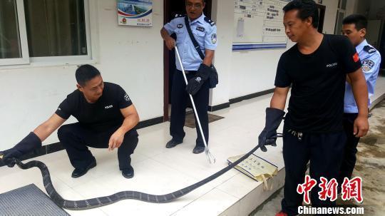 32米长的巨型眼镜王蛇夜闯农家被主人捕获
