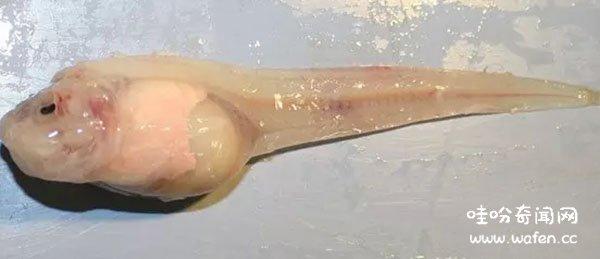 世界上最罕见的十大新物种狮子鱼可承受700公斤压力