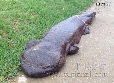 日本发现15米巨型娃娃鱼皮肤如海参