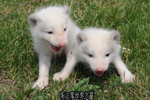世界上最美的狐狸已经成为珍稀物种