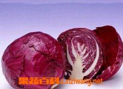 果蔬百科紫甘蓝